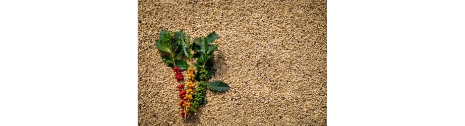 Nos cafés verts en grain bio fairtrade crueltyfree